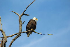 Bald Eagle. Hunting from tree top Stock Photography