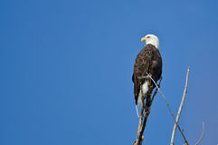Bald Eagle Hunting From The Tree Top Royalty Free Stock Photos