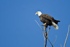 Bald Eagle Hunting From The Tree Top Stock Photography