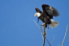 Bald Eagle Hunting From The Tree Top Stock Images