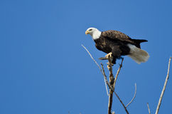 Bald Eagle Hunting From The Tree Top Royalty Free Stock Photography