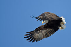 Bald Eagle Hunting On The Wing Royalty Free Stock Photography