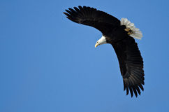 Bald Eagle Hunting On The Wing Royalty Free Stock Photo