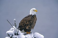 Bald Eagle hunting in winter Stock Photos
