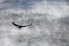 Bald eagle hunting. Young bald eagle snatching a fish from water Stock Photo