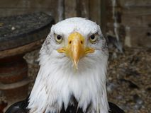 Bald eagle looking at himself. Bald eagle, I`m looking at you stock photography