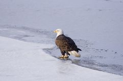 Bald eagle on the ice Stock Photos