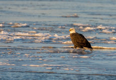 Bald eagle on ice Royalty Free Stock Photography