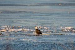 Bald eagle on ice Royalty Free Stock Image