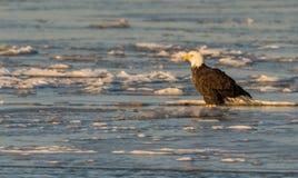 Bald eagle on ice Royalty Free Stock Photos