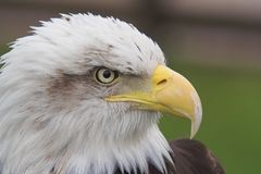Bald Eagle II. Bald Eagle Head royalty free stock photography