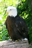 Bald Eagle II. Closeup of Alaskan bald eagle resting on a stump in forest Stock Images
