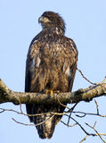 Bald Eagle Immature. Young Bald Eagle perched on a tree branch Stock Photos