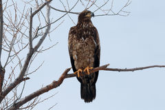 Bald eagle Immature sitting on a branch Royalty Free Stock Photo