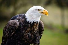 Bald eagle Royalty Free Stock Photos