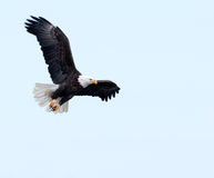 Free Bald Eagle In Flight Stock Images - 9749444
