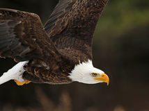 Bald Eagle In Flight Close-Up Stock Photography