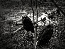 Bald Eagle 2. Injured bald eagles in recovery Stock Photos