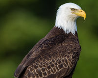 Bald Eagle with intense stare Royalty Free Stock Image