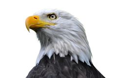 Bald eagle isolated. An isolated bald eagle head Royalty Free Stock Photography