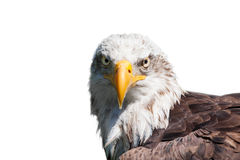 Bald eagle isolated. Portrait of a bald eagle (haliaeetus leucocephalus) isolated on white background Stock Photography