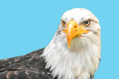 Bald eagle isolated on the blue background.  Stock Images