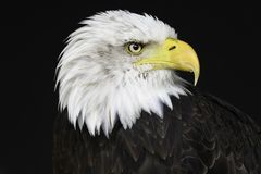 Bald Eagle isolated portrait royalty free stock photography