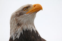 Bald eagle isolated. Profile of a bald eagle Royalty Free Stock Images