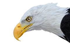 Head of bald eagle isolated on white background Stock Photography