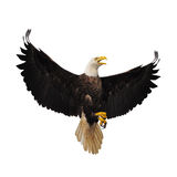 Bald eagle. Bald eagle isolated on the white background Stock Photo