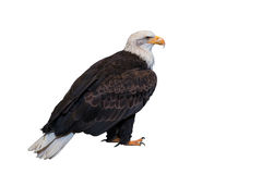 Bald eagle isolated on white background. Clipping path included Royalty Free Stock Images