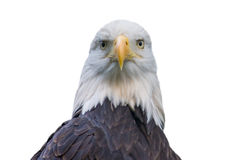 Bald eagle isolated on white. Looking into the camera Stock Photo
