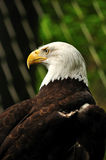 The bald Eagle Stock Images