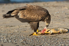 Bald Eagle. Juvenile Bald Eagle eating a fish on the beach. Rotary Park, Ajax, Ontario, Canada royalty free stock photography