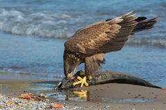 Bald Eagle. Juvenile Bald Eagle standing on a dead fish eating its meal. Rotary Park, Ajax, Ontario, Canada Stock Image