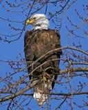 Bald Eagle Keepin An Eye Stock Images