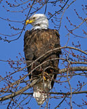Bald Eagle Keepin an Eye. Bald Eagle at Mississippi River Lock and Damn 13. Sitting in the springtime tree keeping close watch on me stock images