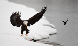 Bald Eagle  landed Royalty Free Stock Photography
