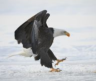 The Bald eagle landed Royalty Free Stock Images