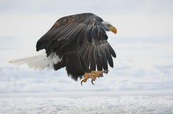 The Bald eagle landed Stock Image