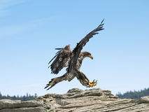 Bald Eagle Landing. Juvenile Bald Eagle learning to land on an ocean outcropping in Southern British Columbia Royalty Free Stock Photo