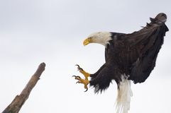 Bald Eagle landing Stock Photos
