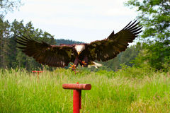 Free Bald Eagle Landing Royalty Free Stock Photo - 2671965