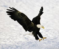 Bald Eagle Landing. American bald eagle landing with spread wings and talons out against snowy background royalty free stock photography