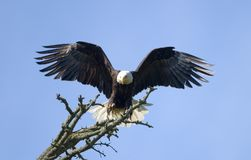 Bald Eagle Landing. An American bald eagle on its final landing approach to its perch on top of a tree. The wings are widespread and the tail is flared out as it stock photos