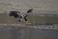 Bald Eagle Landing. A adolescent bald eagle (Haliaeetus leucocephalus) lands on a sand bar at the Nicomen Slough in Deroche, BC, Canada Royalty Free Stock Photo