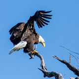 Bald eagle landing. On a dead tree Stock Images