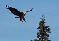 Bald eagle landing in a tree. A bald eagle landing in an evergreen tree with blue sky in Katmai National Park, Alaska Stock Photography