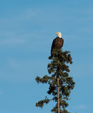 Bald eagle landing in a tree. A bald eagle landing in an evergreen tree with blue sky in Katmai National Park, Alaska Royalty Free Stock Photo