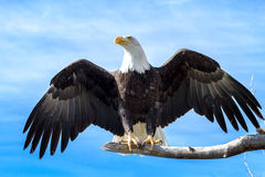 Bald Eagle. Landing on a large tree branch with wings extended Royalty Free Stock Images